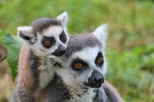 Lemurer1
